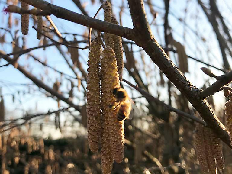 Frühlingserwachen: Biene beim ersten Pollensammeln | Foto: Wilhelm Seidler